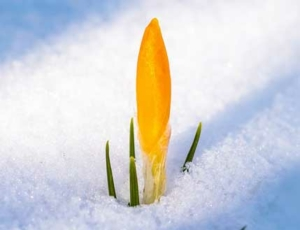 Bild på krokusknopp i snö